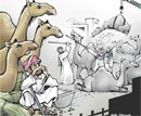Safih and the camel market