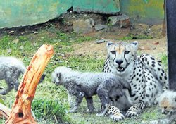 Cheetah cubs to take centre stage at zoo