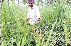 Intercropping turns lucrative for farmer