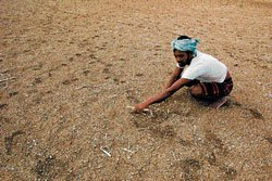 Bleak kharif stares Bijapur farmers in the face