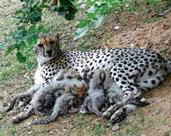 Orphaned, Maya's cub refuses food