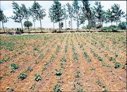 Rain fails potato growers in Hassan district