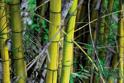 Project to generate power from bamboo on the cards