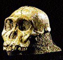 Human ancestors may have survived on fruit and wood