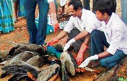Eight peacocks found dead