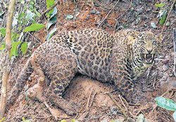 Leopard rescued, released in forest