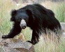 Suspected TB killing bears at Bannerghatta