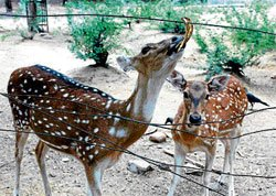 City-bred make a plea for their deer