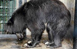 Sloth bears continue to suffer at Bannerghatta Biological Park