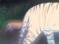 Tiger cub spotted at Sariska park after 4 years