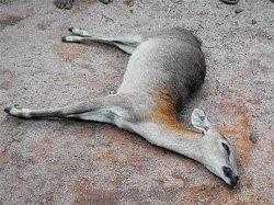 Poachers kill antelope at Rangayyanadurga