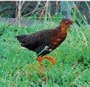 New flightless bird found in Indian Islands