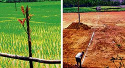 What's cooking in Isloor's paddy fields?