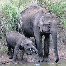 Jumbo translocation: HC seeks objections from forest dept
