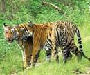 Tiger tourism ban: SC raps Centre for U-turn