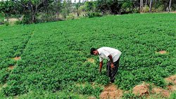 Coriander brings relief to drought-hit farmers