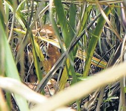 Man-eating tiger on the prowl?