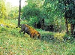 Captured tiger had highest home range, says expert