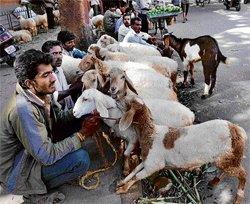 Bulls topple sheep sale this Bakrid festival