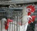Over 220 chicken, ducks die of suspected birdflu in Bangalore