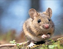 Mice could replace dogs to sniff out explosives, drugs