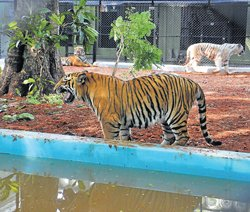 A forest like environs for tigers at zoo
