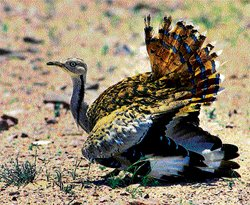 Bustards on the brink