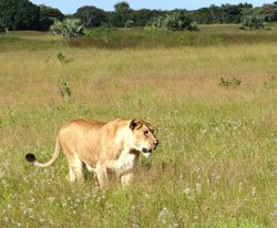 Two-thirds of Africa's lions have disappeared in 50 years