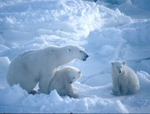 'Polar bears could be extinct in 25 years'
