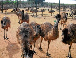 Emu farming a flyaway success in Gudibande
