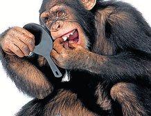 Chimpanzees have a sense of fairness like humans