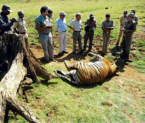 Tests reveal tiger died after eating poisoned meat