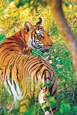 Now, Aadhaar-like ID numbers for tigers