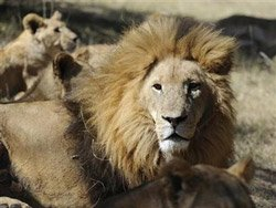 Almost half of Africa's lions facing extinction: report
