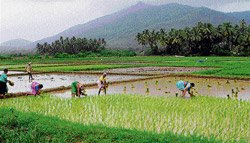 It's raining woes for paddy cultivation in State