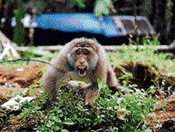 Monkey menace irks lawmakers in Bihar