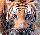 Lovelorn tiger sneaks into zoo