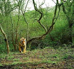 Forest dept on high with constant eye on tigers