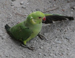 Parrot owner gets payout after RAF plane noise kills his bird