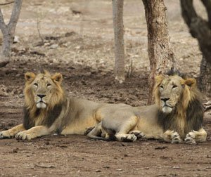 Cobra killed by lions in zoo