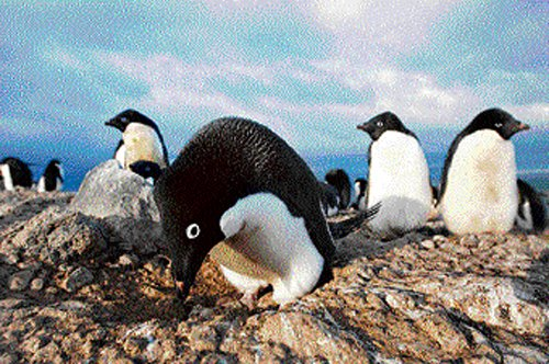 Who clipped the penguin's wings?
