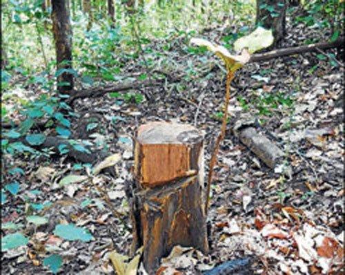 Green tribunal restrains cutting of trees in Govardhan