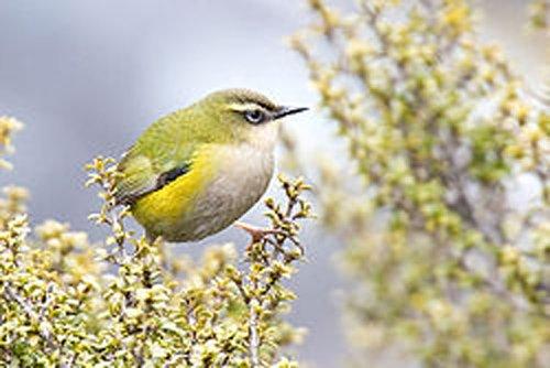 Near extinct bird species making a comeback