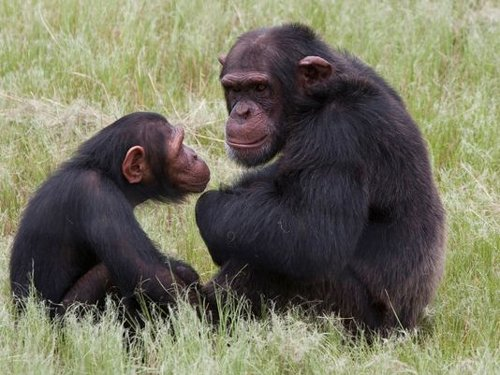 Why humans are musical but apes are not
