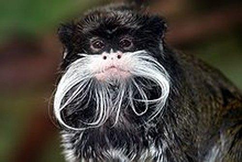 Non-human primates caught whispering!