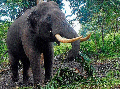 Wild elephants a nightmare for Mudigere villagers