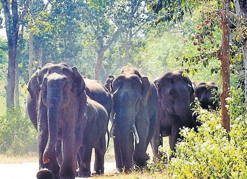 Jumbos stray into village in Hunsur