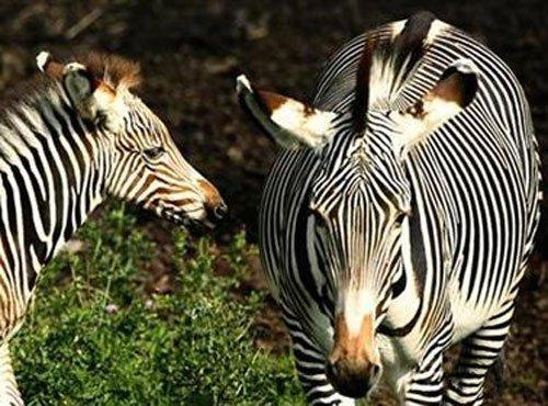 Kenya sounds alarm over extinction of rare zebra