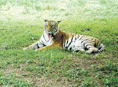 371 tigers lost in five years: Authority