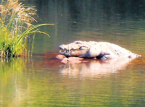 Crocodile surfaces in River Cauvery